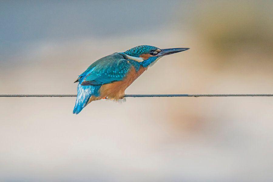 IJsvogel van Gert Hilbink