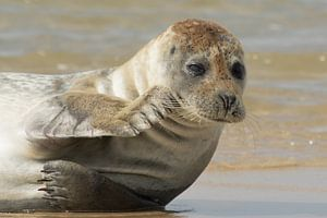 Grijze zeehond pinkt een traantje weg van