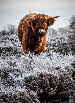 Highlander écossais sur Durk-jan Veenstra