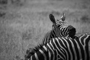 Zebra zwart wit  strepen in Kenia van