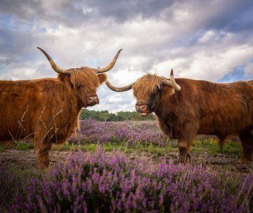 Schottischer Hochländer von Tomas van der Weijden