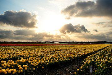 Tulpenfeld in Noordwijkerhout II von Marvin Van Haasen