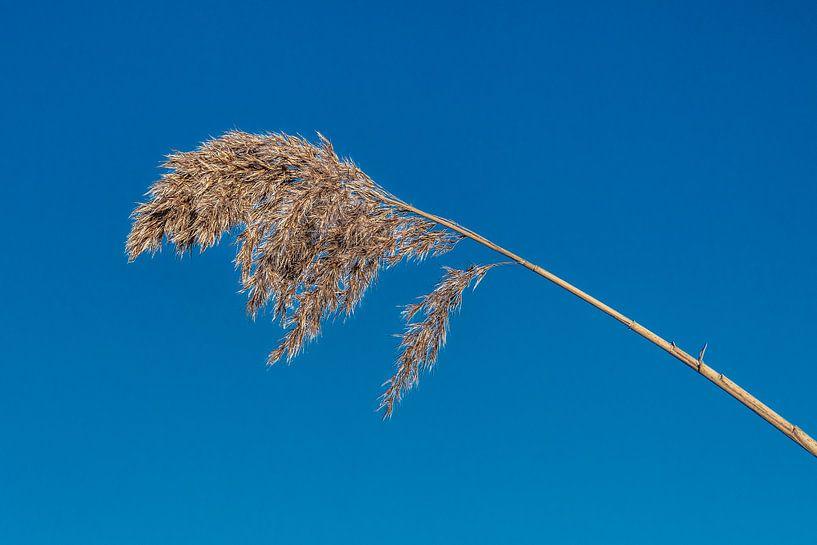 Droge rietpluim met een blauwe lucht als achtergrond sur Harrie Muis