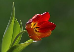 Rode tulp van Simone Huisman