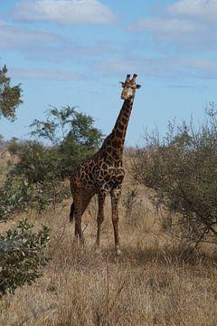 Giraffe, Krugerpark, Zuid-Afrika von Maurits Bredius