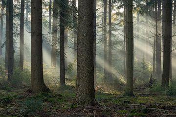 Lichtstralen in het dennenbos op een vroege mistige ochtend van Anges van der Logt