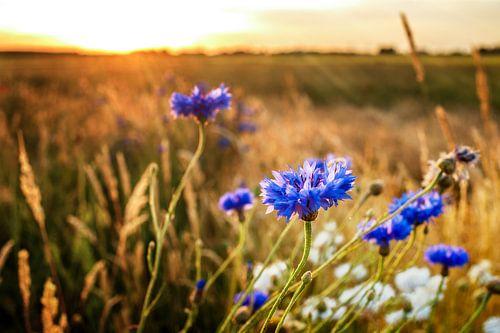 Blue cornflowers at warm, atmospheric summer evening  von Fotografiecor .nl