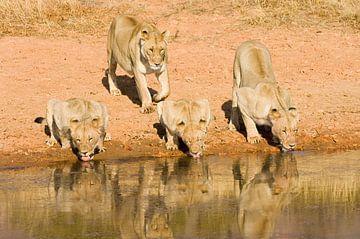 leeuw van paul van Gaalen
