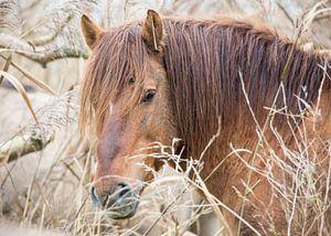 Vossig rood konikpaard Oostvaardersplassen
