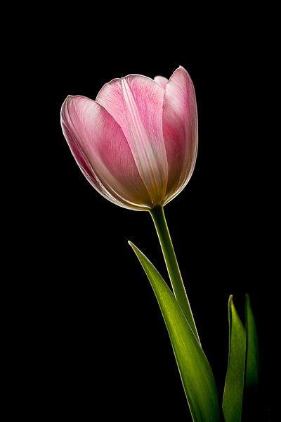 Tulip on black van John Bouma