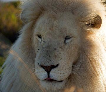 Leeuw #pantheraafrica von Minie Drost