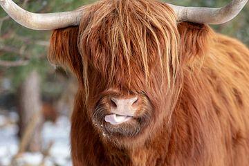 Lustiger schottischer Highlander von Dennisart Fotografie
