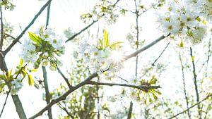 Voorjaar tussen de bloesem bomen