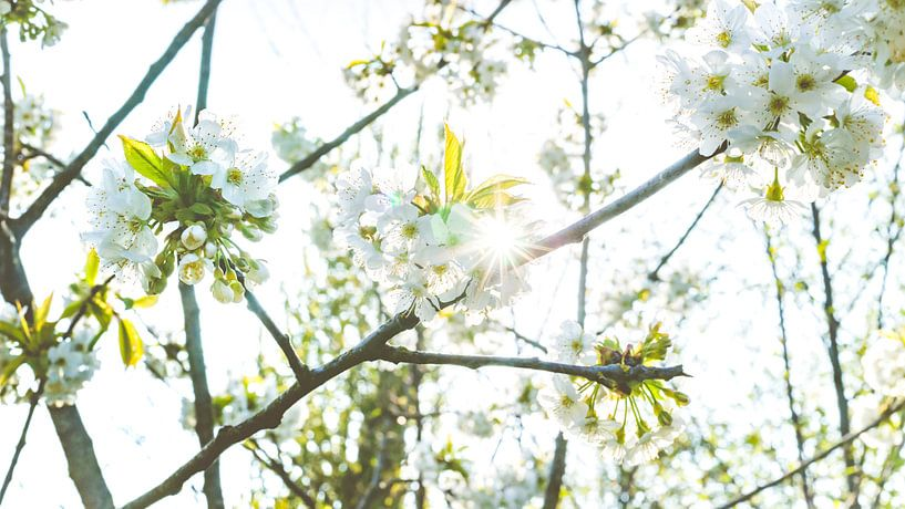 Voorjaar tussen de bloesem bomen van Fotografiecor .nl