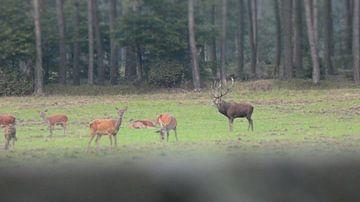 Herten bij Kootwijk Veluwe Gelderland van Wilbert Van Veldhuizen