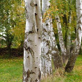 bouleaux sur Ostsee Bilder