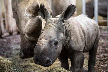 neushoornjong naast moeder neushoorn van Rob Herstel