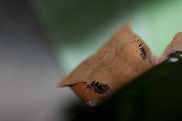 close up wimper gekko op een blad van dominic kanters