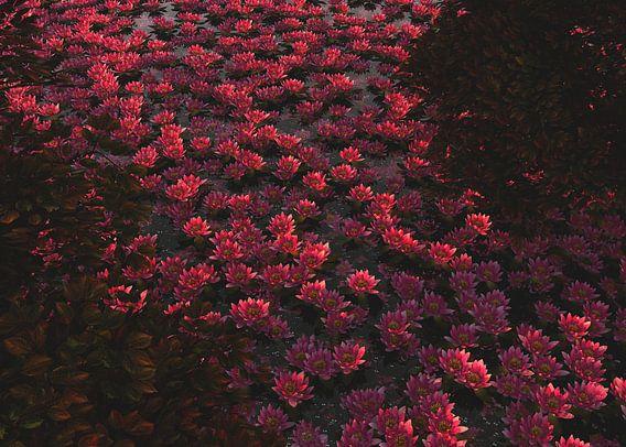 Waterlelies bij dageraad