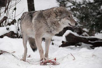 Wolfsweibchen steht Pfote auf einem Stück Fleisch im Winter im Schnee ein mächtiges Raubtier von Michael Semenov