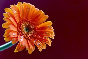 Oranje Gerbera bloem  van Anita Moek