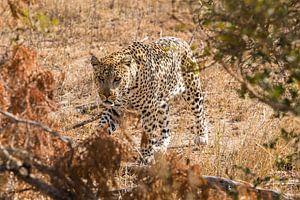 Luipaard (1) van