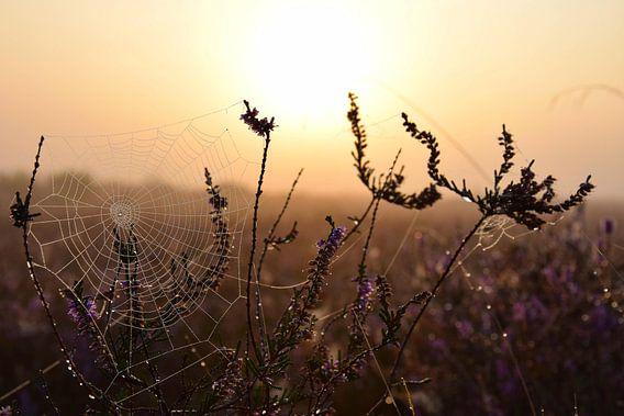 Spinnenweb bij zonsopkomst, Westerheide, Hilversum
