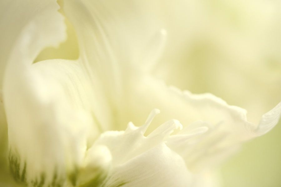 Detail van een witte tulp