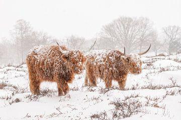 Schotse Hooglanders in de sneeuw. van Albert Beukhof