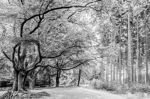 Beuk Landgoed de Slotplaats Bakkeveen in zwart-wit