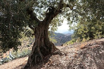olijfboom von jan katuin