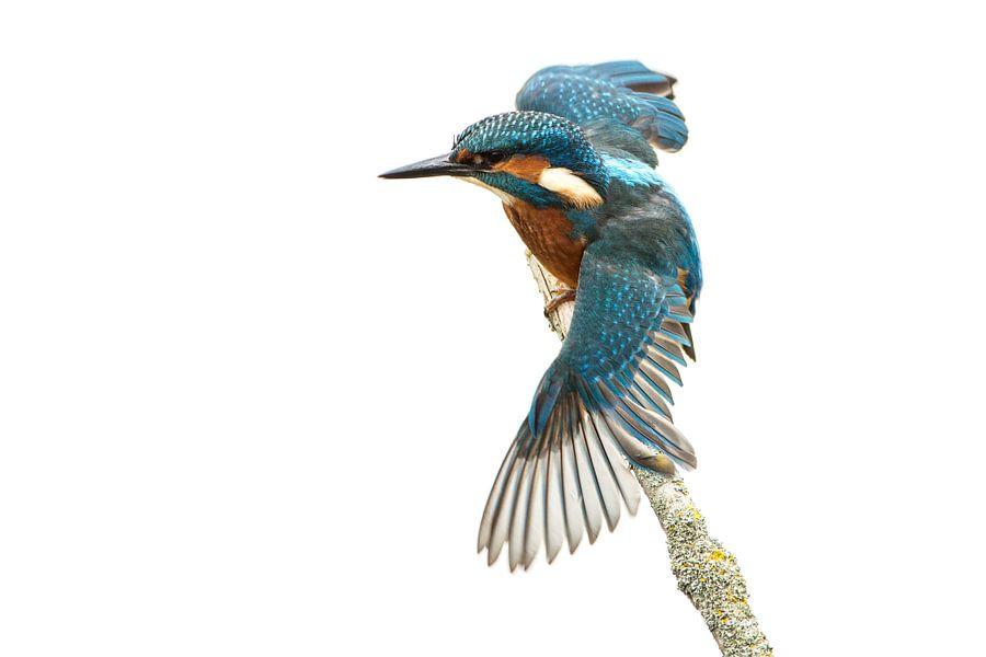 Ijsvogel met gestrekte vleugels van Nico Leemkuil