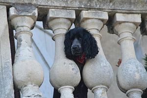 hond kijkt vanaf balkon naar jou balkon / dog watching from a balcony at you