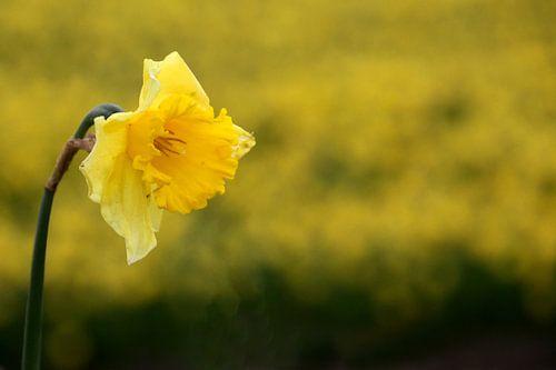 Gele Narcis van