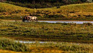 Paarden in de Helderse duinen van