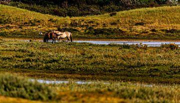 Paarden in de Helderse duinen van René Holtslag