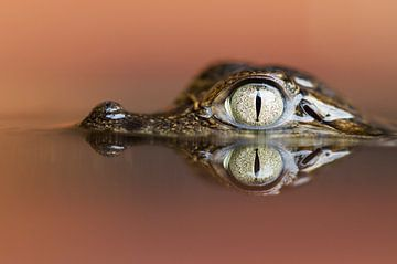 Spectacled caiman close up sur AGAMI Photo Agency