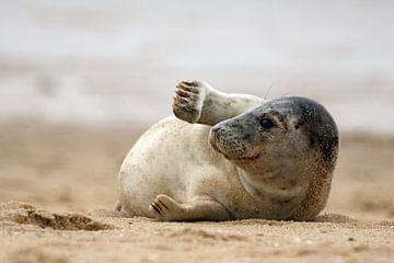 Seehund am Strand von Bodo Balzer