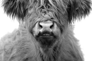 Schotse hooglander kop kalf zwart wit