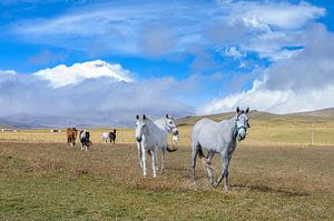 Cotopaxi paarden