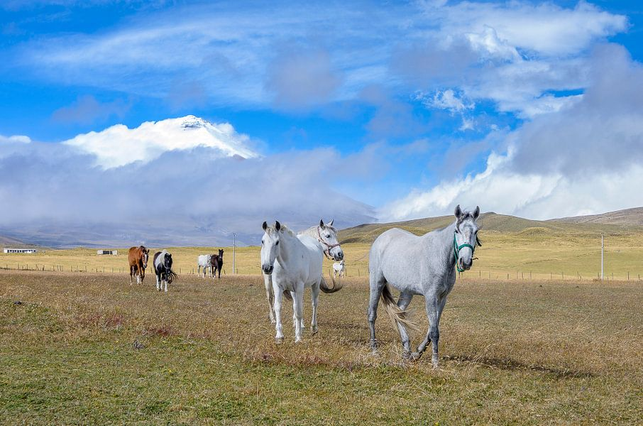 Cotopaxi paarden van Peter Vruggink