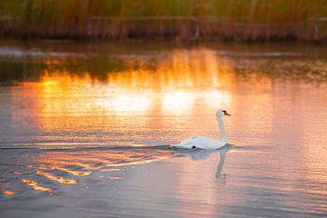 Zwaan tijdens zonsondergang van Nicky Kapel