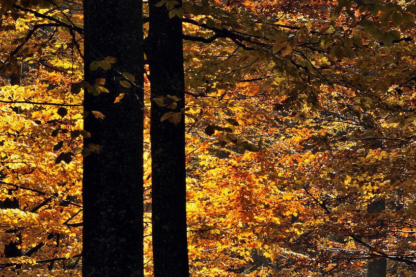 Beukenbomen in de herfst van Gonnie van de Schans