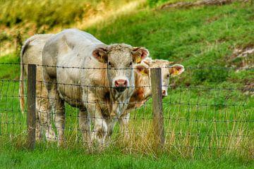 Koeien in het weiland. van Mariska Brouwenstijn