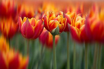 Tulpen mit Bewegung von Kristof Ven