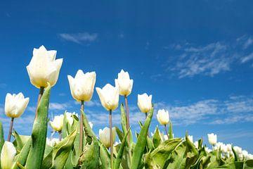 Weiße Tulpen wachsen im Frühling auf einem Feld von Sjoerd van der Wal