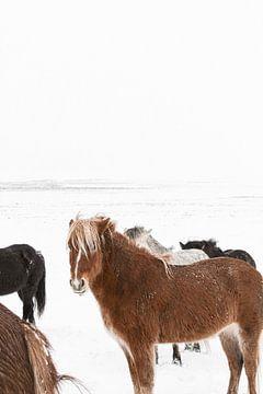 Islandpferde in einer weißen Welt in Island von Henrike Schenk