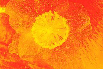 Christrose Orange von Marc Heiligenstein