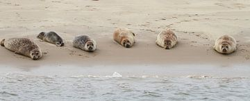 Zeehonden op zandplaat van Peter Grobbee