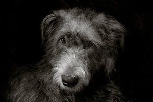 Irish Wolfhound van Stephen Young